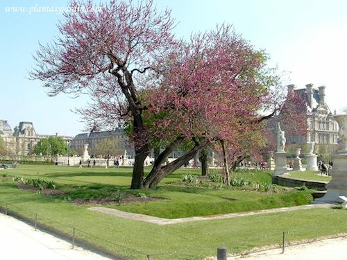Cercis-florecido-en-el-Jardin-des-Tuileries-copia